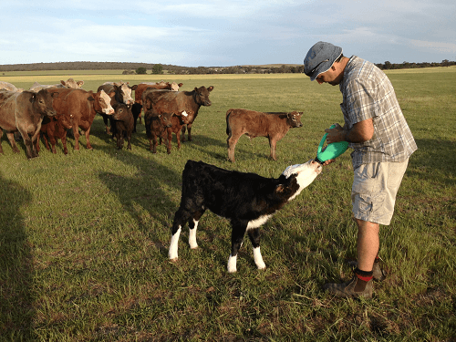 Greg feeding orphaned calf on family farm - Hay Sales covering Hartley / Strathalbyn / Fleurieu / Adelaide Hills & Murray Mallee