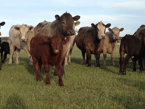 Our family farm herd of beef cows - Harvey Hay Sales covering Hartley / Strathalbyn / Fleurieu / Adelaide Hills & Murray Mallee