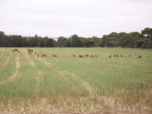 Sheep summer grazing - Harvey Hay Sales covering Hartley / Strathalbyn / Fleurieu / Adelaide Hills & Murray Mallee