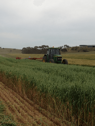 Using a conditioner mower on Oaten Crop for new seasons Oaten Hay - Harvey Hay Sales Hartley / Strathalbyn SA