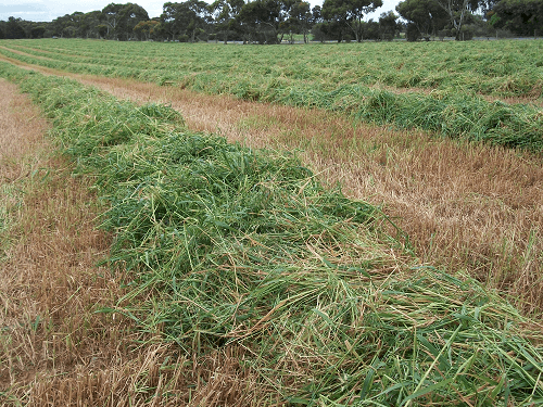 Lush Oaten Crop for new seasons Oaten Hay - Harvey Hay Sales covering Hartley / Strathalbyn / Fleurieu / Adelaide Hills / Fleurieu & Murray Mallee
