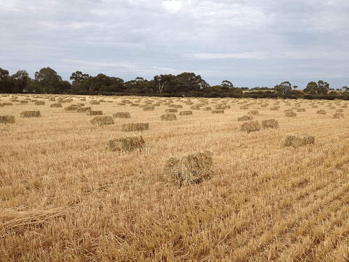 Baled and ready for carting our new seasons Wheaten Hay - Harvey Hay Sales covering Hartley / Strathalbyn / Fleurieu / Adelaide Hills / Fleurieu & Murray Mallee