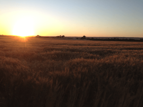 Wheat Crop on sunset Hartley - Harvey Hay Sales covering Hartley / Strathalbyn / Fleurieu / Adelaide Hills / Fleurieu & Murray Mallee