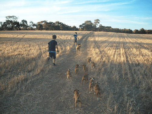 Life on the farm with Boxer puppies - Harvey Hay Sales covering Hartley / Strathalbyn / Fleurieu / Adelaide Hills & Murray Mallee